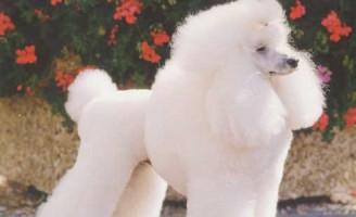 Rasa Caniche – cea mai veche rasa de caini