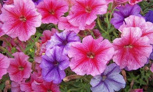 Biosolaris – Petunia curgatoare – un rau de frumusete in gradina ta!
