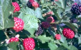 Alege butasii de mure Strong Berry!