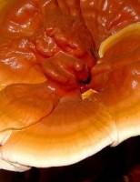 Ciuperci medicinale de la Tratament naturist!