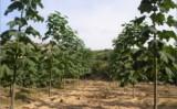 Infiintare plantatie copaci paulownia – cea mai buna afacere a momentului