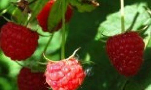 Butasi zmeura cu Strong Berry – pentru fructe cat mai gustoase!