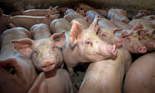 450 de animale eutanasiate din cauza pestei porcine în Galați
