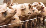 Pesta porcină depistată în mai multe județe din România